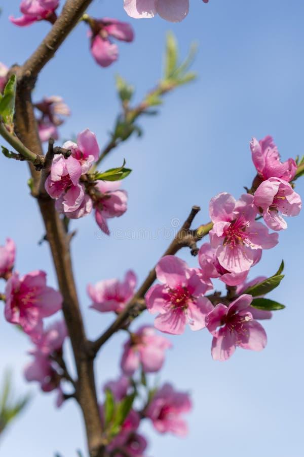 Flor hermoso del melocot?n Flores rosadas del melocot?n flores del melocotón en fondo del cielo azul Foto vertical imagenes de archivo