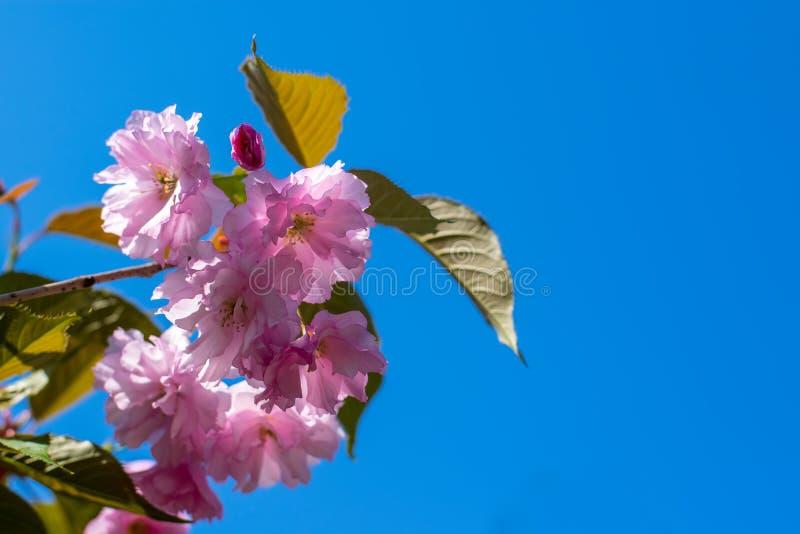 Flor hermoso del rosa de la cereza en tiempo de primavera contra el cielo azul imagen de archivo libre de regalías