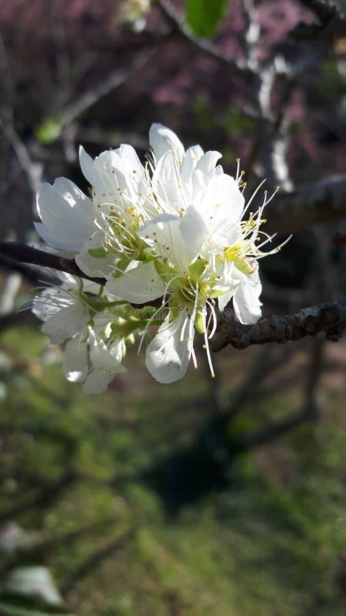 Flor Himalaia selvagem da cereja fotografia de stock royalty free