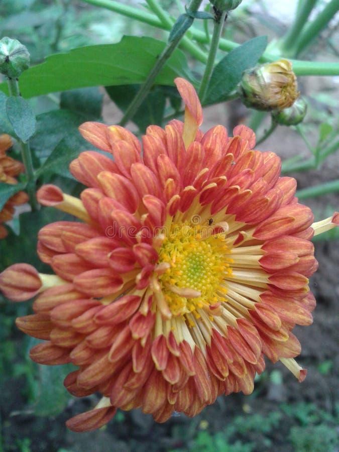 A flor Himalaia vermelha embeleza mesmo a jarda gasto fotografia de stock