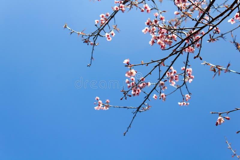 Flor Himalayan salvaje de la cereza (Sakura de Tailandia o cerasoides del Prunus) en la montaña de Phu Lom Lo, Loei, Tailandia fotos de archivo libres de regalías