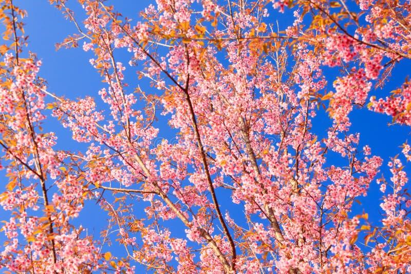 Flor Himalayan salvaje de la cereza (Sakura de Tailandia o cerasoides del Prunus) en la montaña de Phu Lom Lo, Loei, Tailandia fotografía de archivo