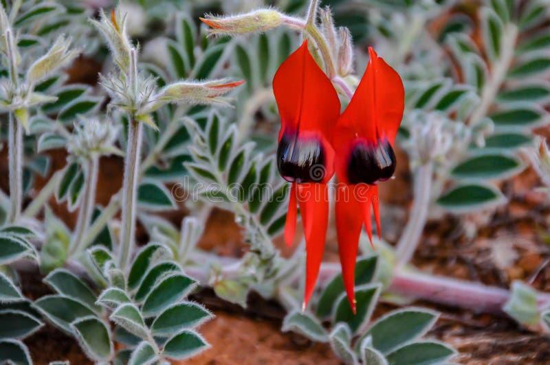 Flor icónica imponente del guisante de desierto del ` s de Sturt del australiano fotografía de archivo libre de regalías