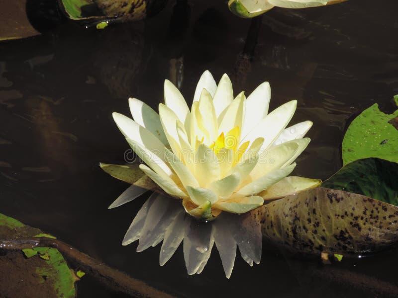 Flor II del agua fotos de archivo