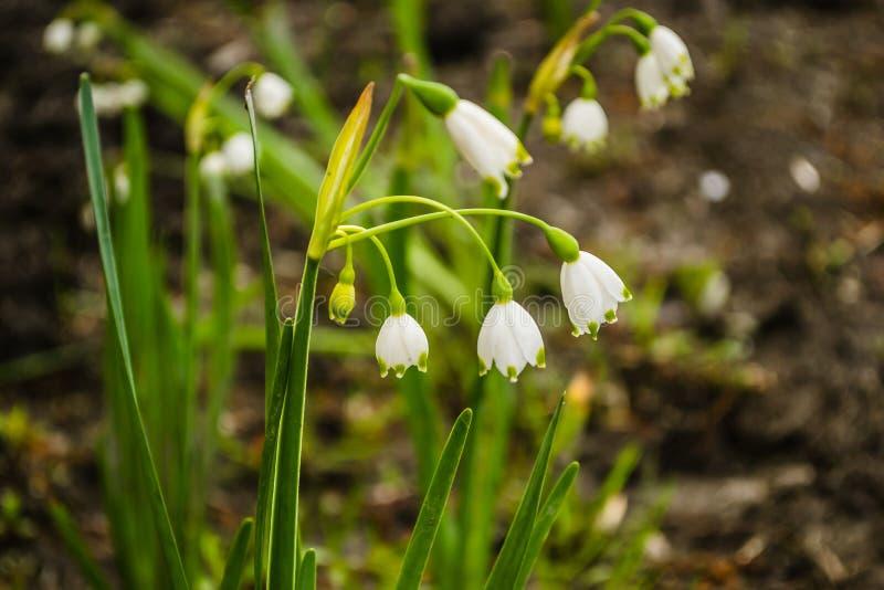 Flor iluminada por el sol del lirio de los valles imagen de archivo libre de regalías