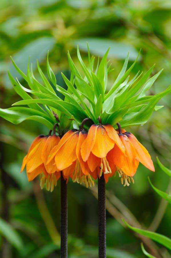 Flor imperial da coroa (fritillaria) imagens de stock