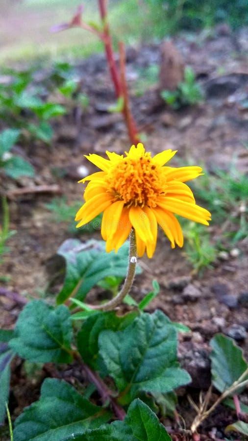 Flor impresionante amarilla fotografía de archivo libre de regalías