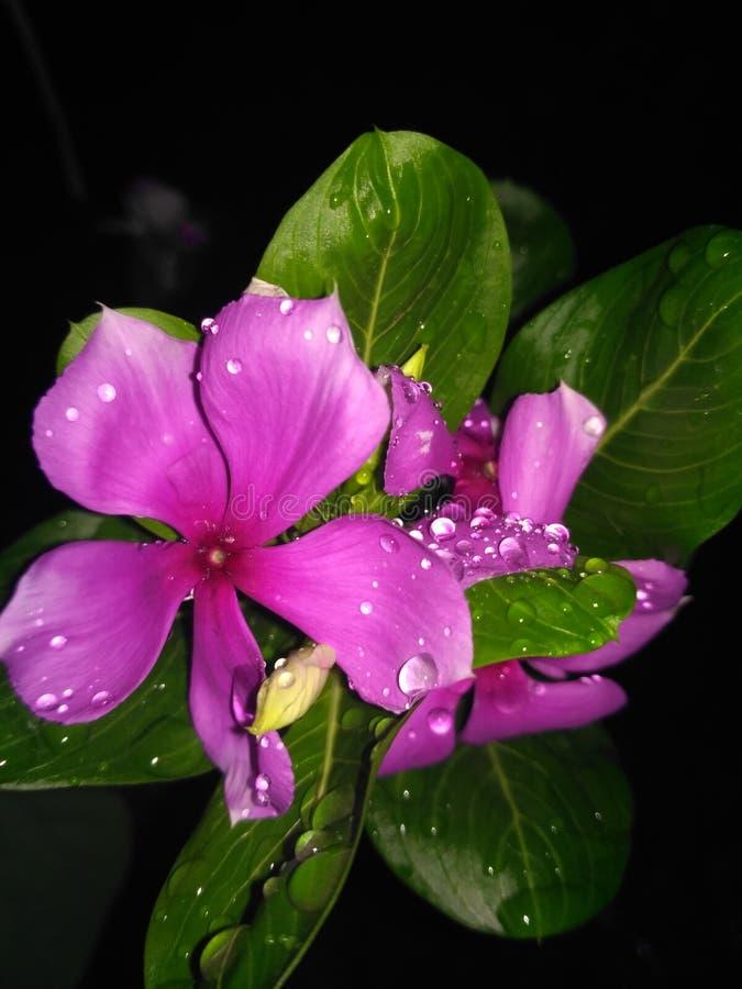Flor impressionante da noite imagens de stock