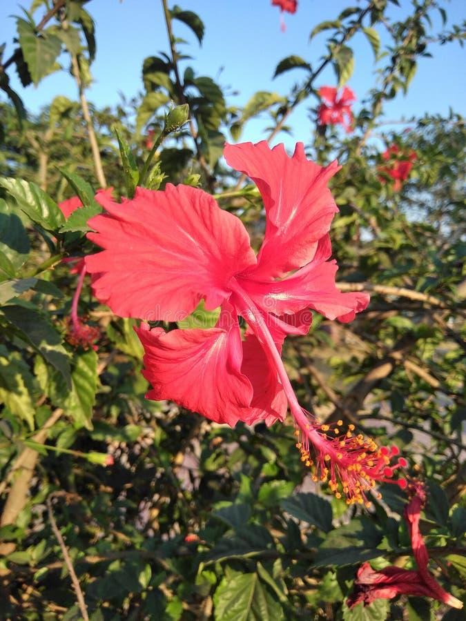 Flor india foto de archivo libre de regalías