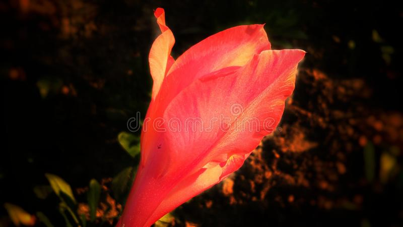 Flor india anaranjada hermosa del canna imágenes de archivo libres de regalías