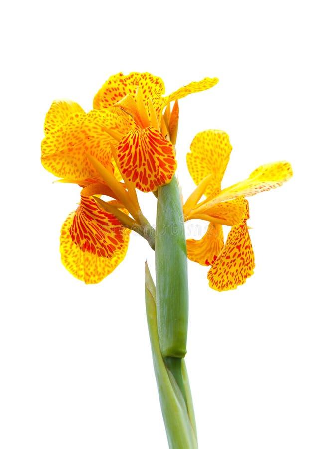 Flor india del lirio de canna, aislada en blanco fotos de archivo
