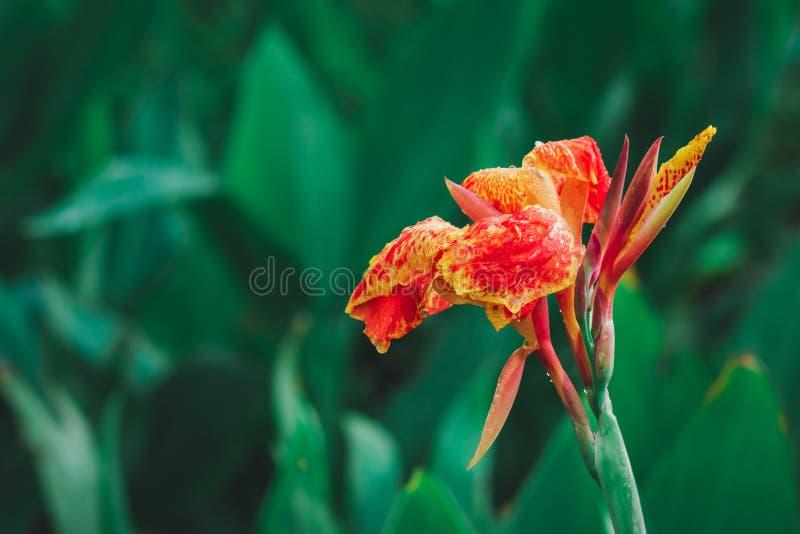 Flor indica roja lilly Canna del primer de Canna con las hojas verdes borrosas en fondo imágenes de archivo libres de regalías
