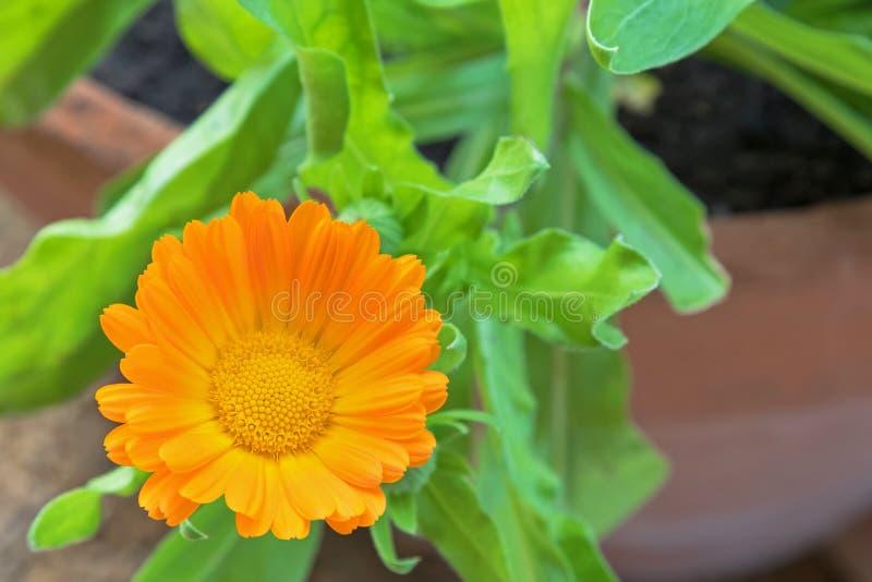 Flor inglesa do cravo-de-defunto (officinalis do Calendula) no amarelo alaranjado foto de stock