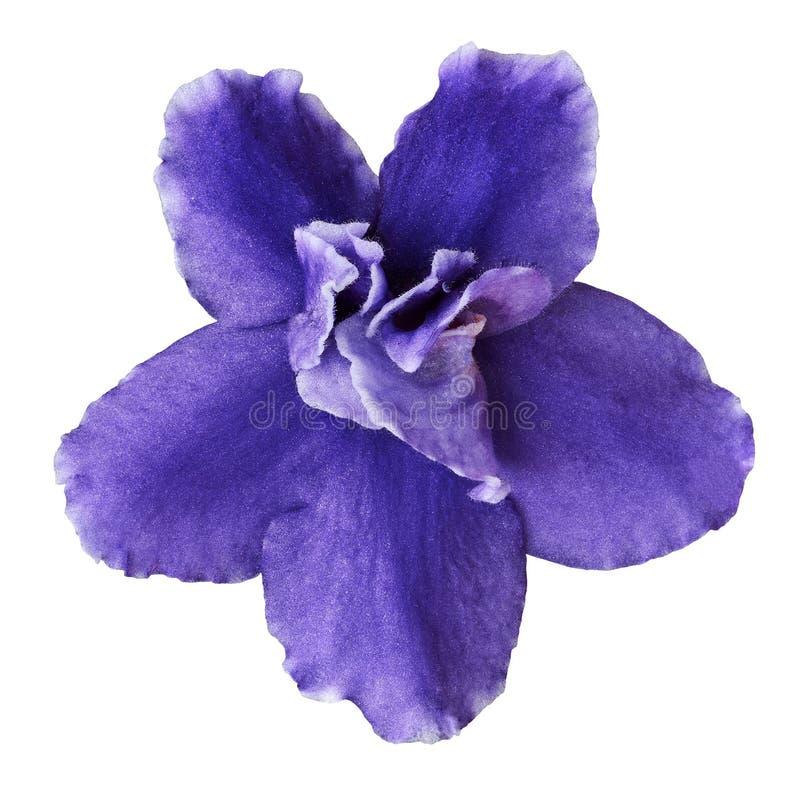 Flor interna VÃola azul isolado no fundo branco Close-up Macro Elemento do projeto imagens de stock royalty free