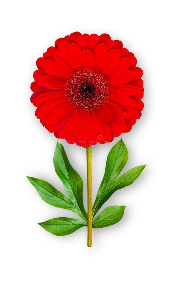 Flor inusual combinada del gerbera Gerbera rojo con las hojas de la peonía Objeto del arte en un fondo blanco fotografía de archivo