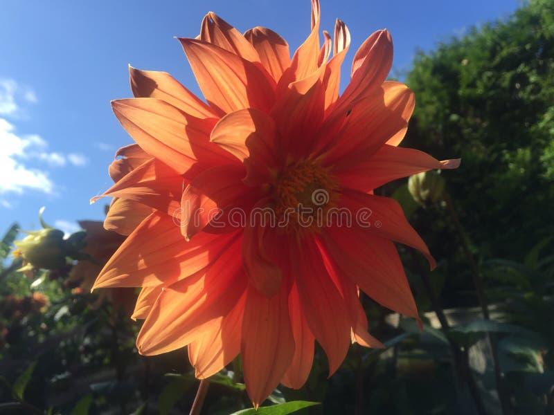 Flor Islândia de Haafell fotografia de stock