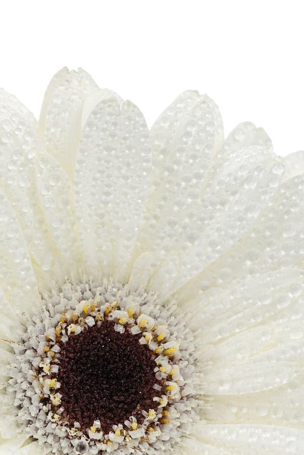 Flor isolada do gerbera fotos de stock