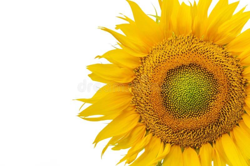 Flor isolada do girassol fotos de stock
