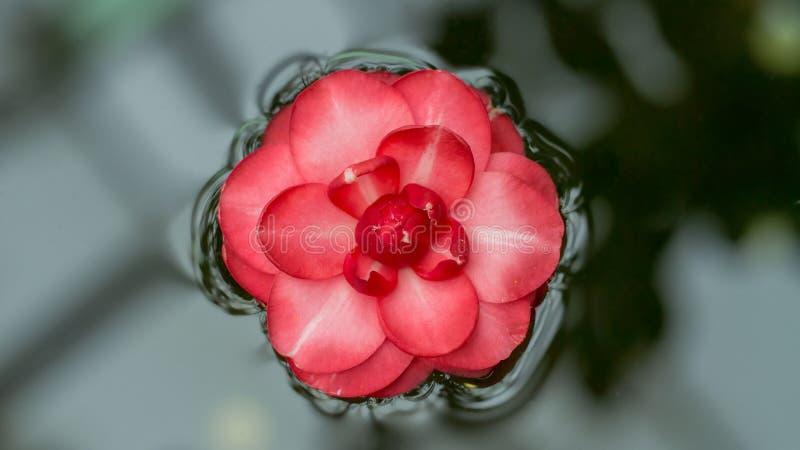 Flor japonesa rasgada da camélia que flutua na superfície da água Bandeira longa da largura fotografia de stock royalty free