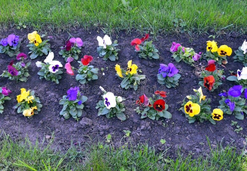 Flor, jardim, flores, natureza, campo, mola, verão, planta, rosa, verde, prado, grama, cosmos, flor, roxo, flora, colorfu fotos de stock royalty free