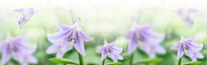 Flor Lílium del lirio en un campo en un día de verano claro Los rayos del sol y deslumbrarse para penetrar el follaje Atmósfera a imágenes de archivo libres de regalías