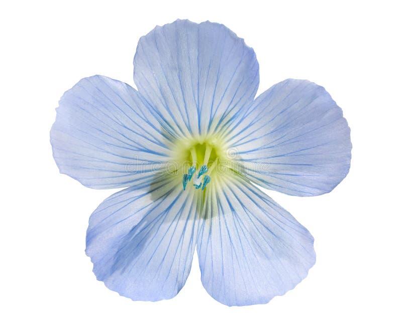 Flor l del lino usitatissimum, trayectorias imagen de archivo libre de regalías