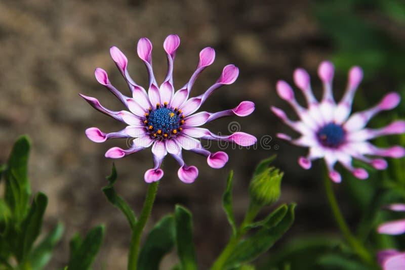 Flor lilás da colher (Osteospermum), margarida africana, contra o fundo natural imagem de stock royalty free