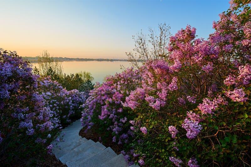 A flor lilás das flores na mola fotografia de stock royalty free