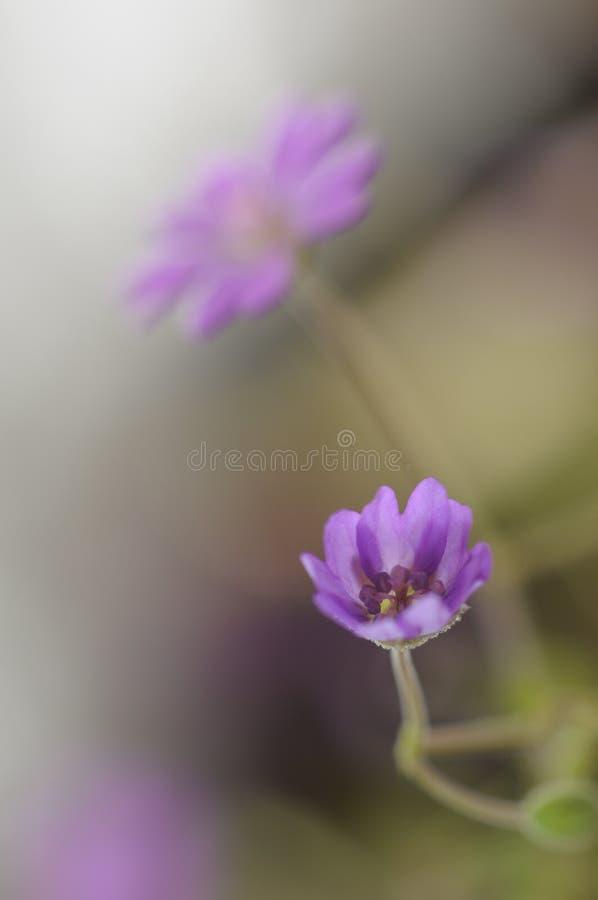 Flor lilás delicadamente aberta do gerânio imagens de stock