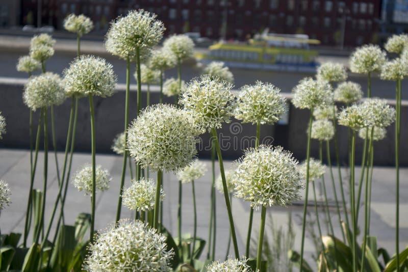 Flor lilás/do rosa Allium da cebola no fundo natural borrado em um jardim do verão fotografia de stock royalty free