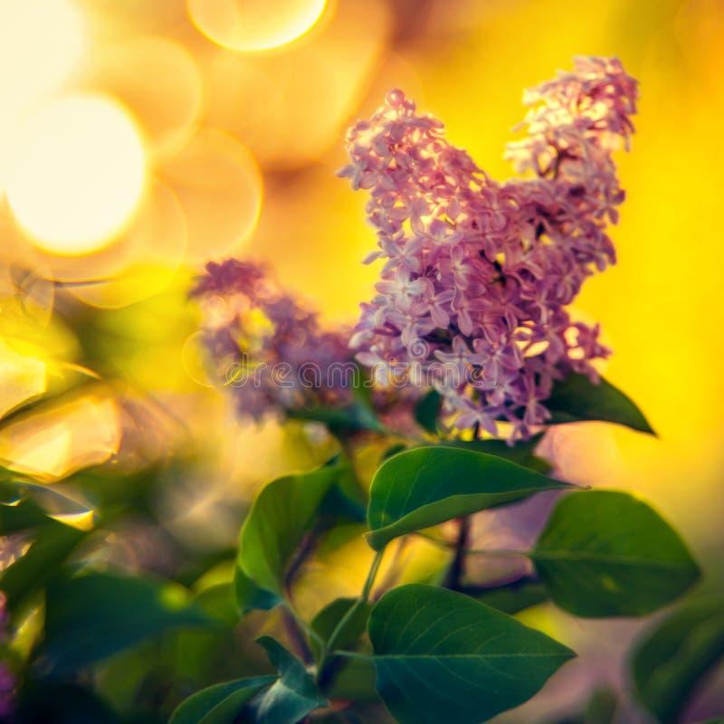 Flor lilás e bokeh foto de stock
