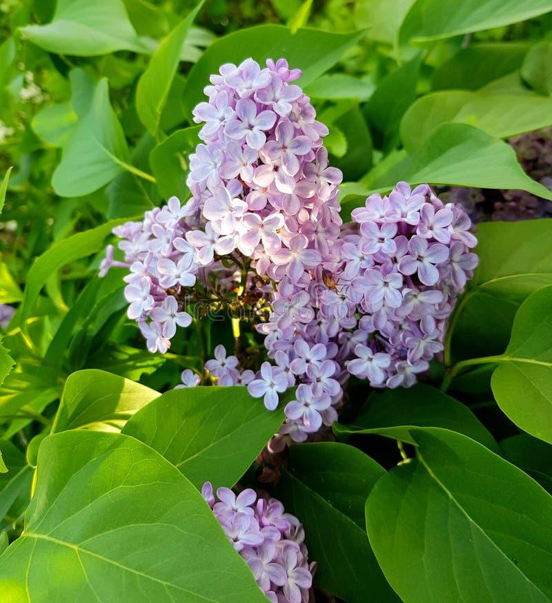 Flor lilás roxa em um dia ensolarado Beleza dos lilás imagens de stock royalty free