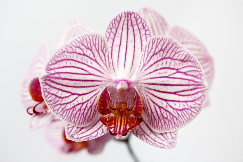 flor listrada Cor-de-rosa-branca do orchidaceae da orquídea no fundo branco imagens de stock