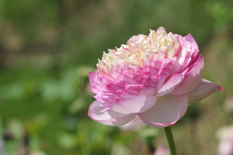 Flor lleno de Lotus imágenes de archivo libres de regalías
