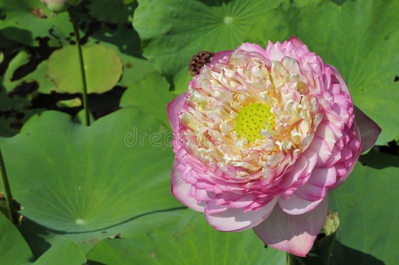 Flor lleno de Lotus imagenes de archivo