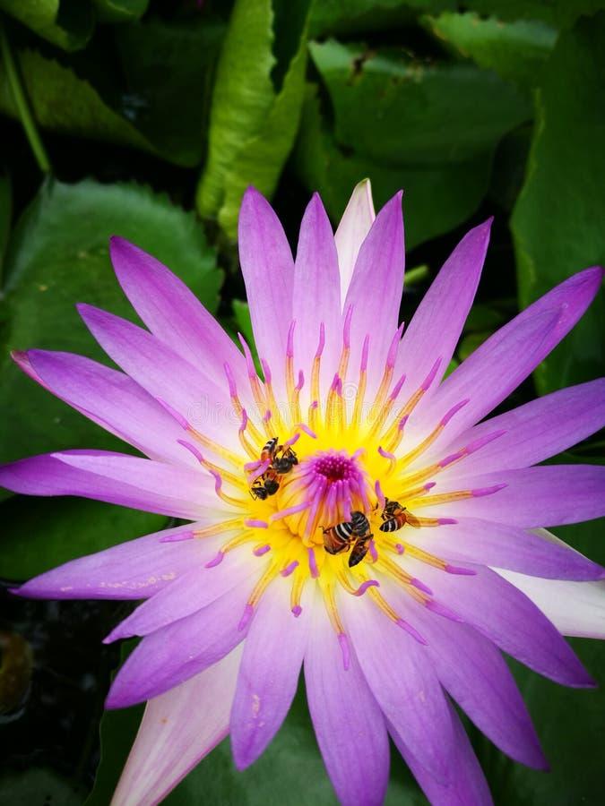 Flor Lotus fotografia de stock