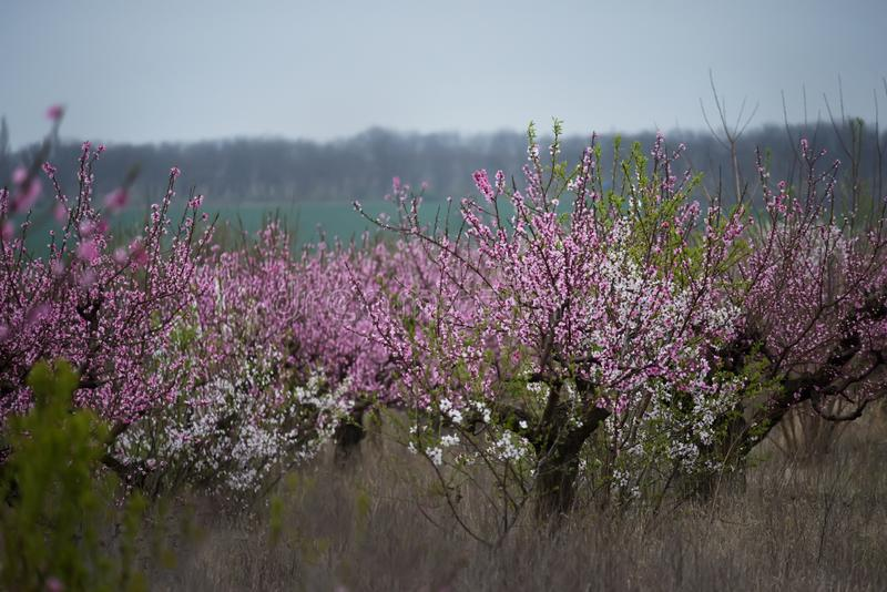 A flor luxúria de árvores de fruto diferentes no jardim Árvore e amêndoa de florescência de pêssego imagens de stock