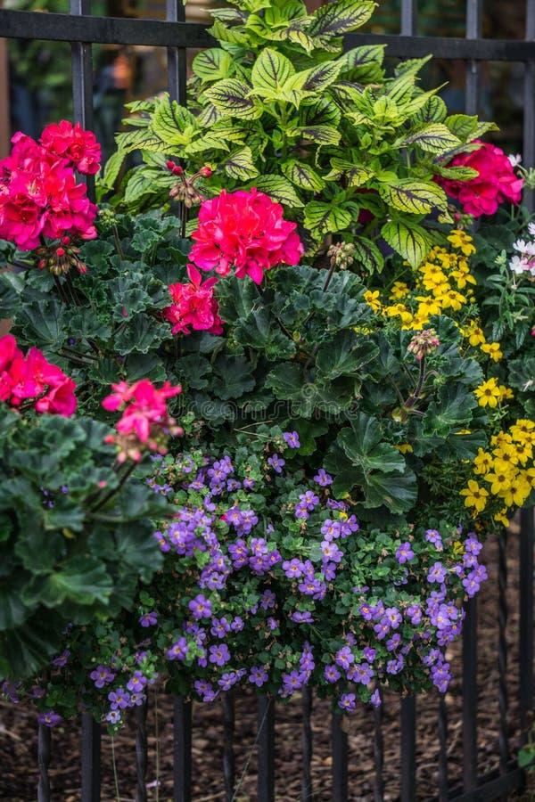 Flor maceta con flores rosadas de geranio y otras flores en la valla imágenes de archivo libres de regalías