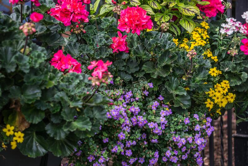 Flor maceta con flores rosadas de geranio y otras flores en la valla fotos de archivo