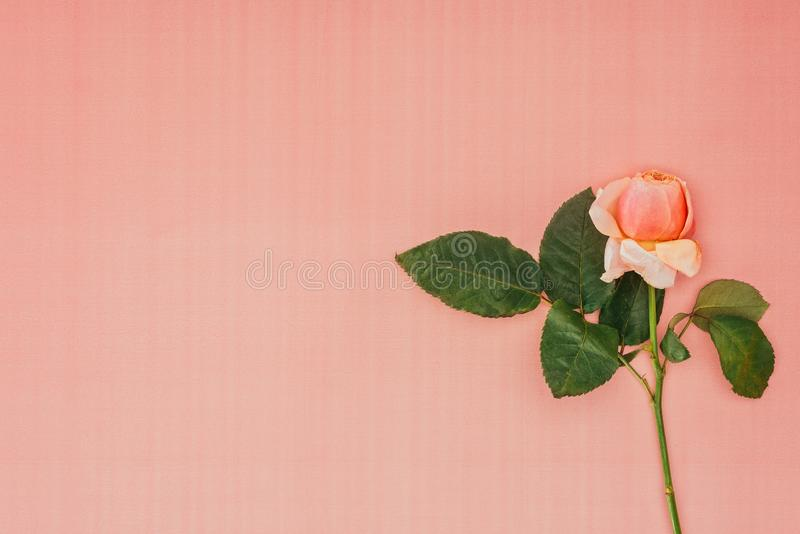 Flor macia bonita da rosa do rosa com folhas verdes fotografia de stock
