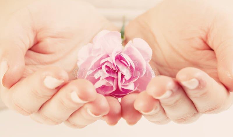 Flor macia cor-de-rosa nas mãos da mulher Termas, proteção, cuidado imagem de stock
