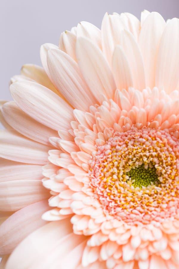 Flor macia da margarida do gerbera do pêssego do close up foto de stock