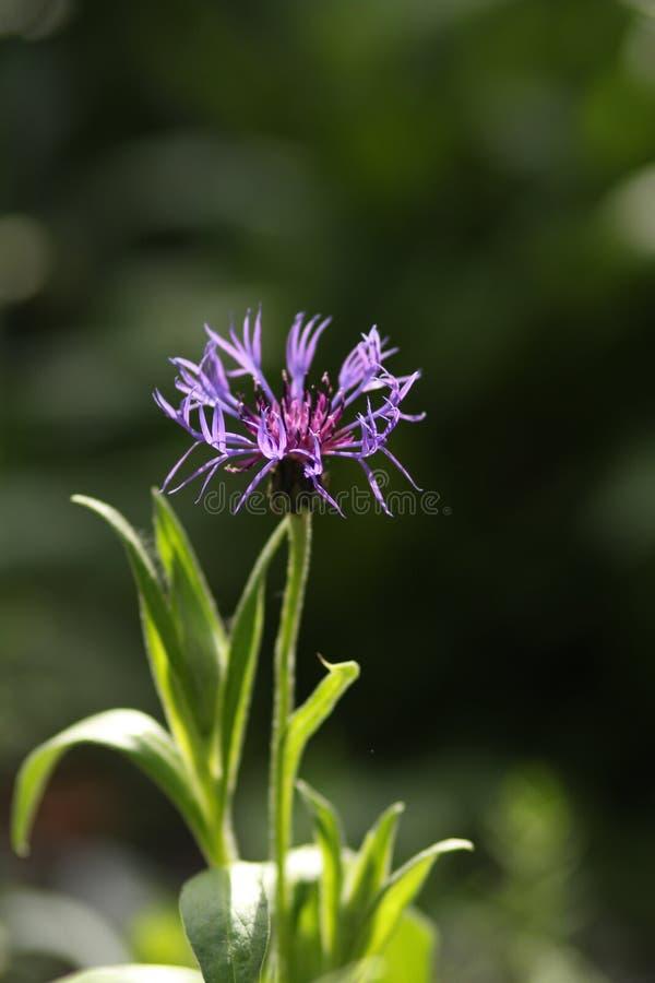 Flor macra azul del Centaurea del aciano con el centro púrpura que crece al aire libre en una frontera del jardín imagenes de archivo