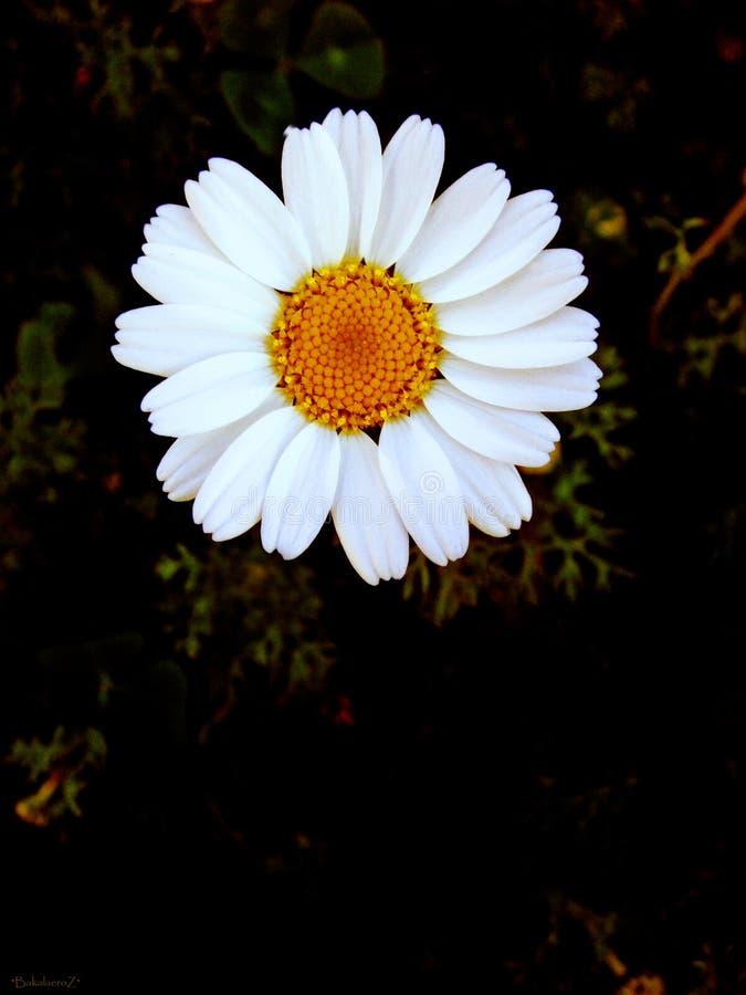 Flor macra del arvensis del Anthemis en fondo del flor y papeles pintados en impresiones de alta calidad superiores imagenes de archivo
