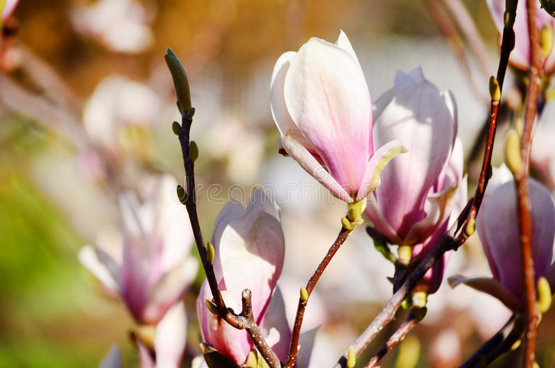 Flor macro bonita da magnólia fotos de stock royalty free
