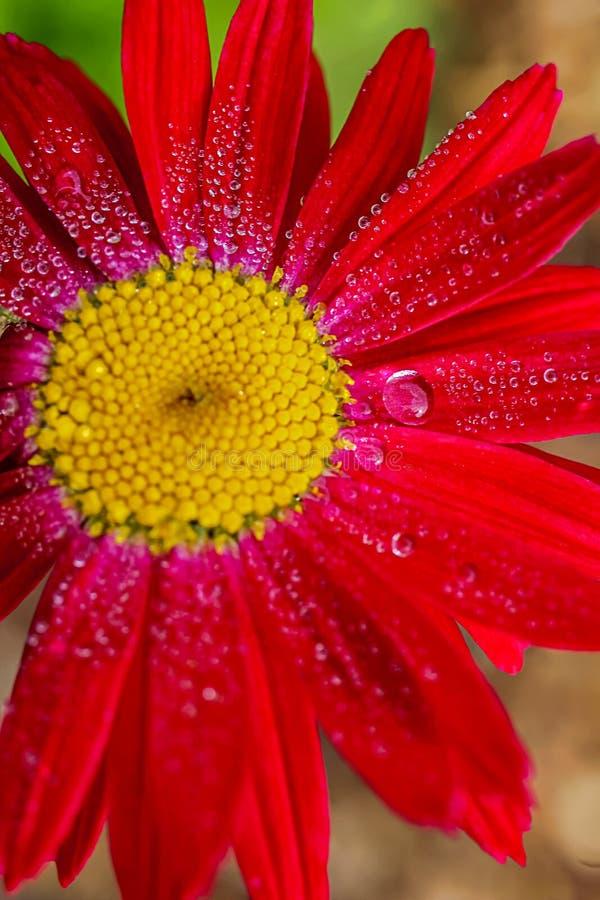 Flor macro com gotas da ?gua fotos de stock royalty free