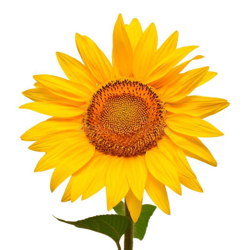 Flor macro da cabeça do girassol isolada no fundo branco imagem de stock royalty free