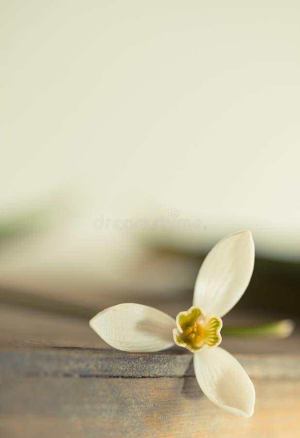 Flor macro da mola - os snowdrops Gallanthus isolaram-se no fundo branco fotos de stock royalty free