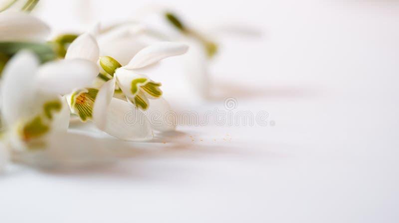 Flor macro da mola - os snowdrops Gallanthus isolaram-se no fundo branco fotos de stock
