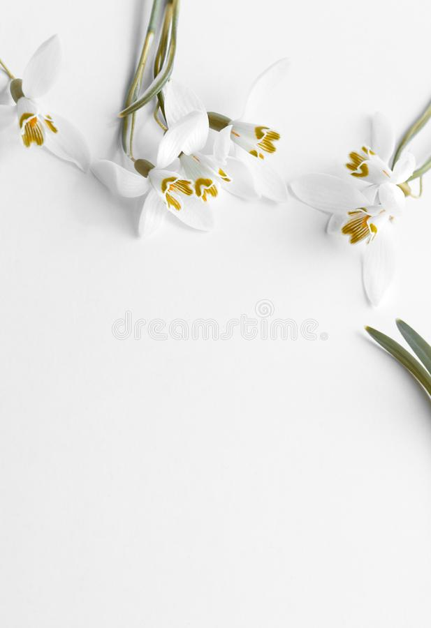 Flor macro da mola - os snowdrops Gallanthus isolaram-se no fundo branco foto de stock